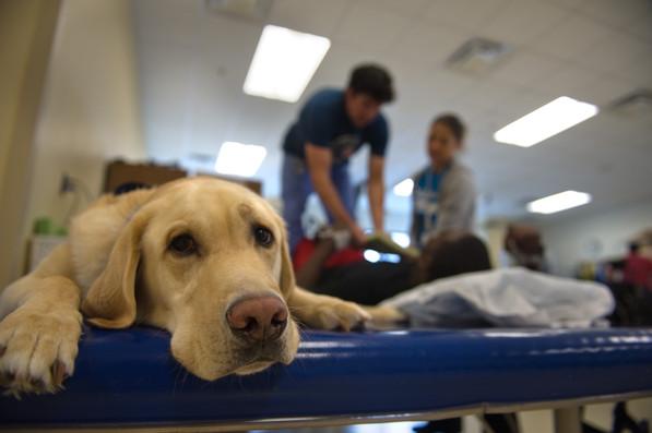 Frosty, a yellow Labrador retriever and resident facility dog at Shepherd Center in Atlanta, Georgia
