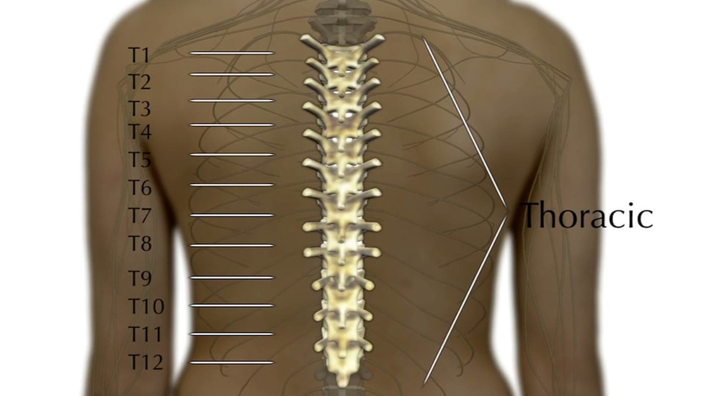 Diagram showing the thoracic portion of the spine
